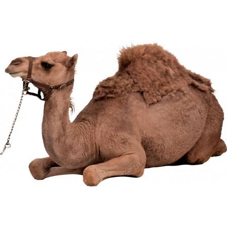 Naklejka Drukowana leżący wielbłąd