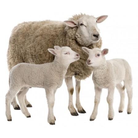Naklejka Drukowana owce