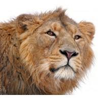 Naklejka Drukowana  głowa lwa