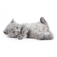 Naklejka Drukowana szary kotek