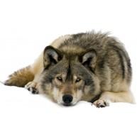 Naklejka Drukowana leżący wilk
