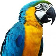 Naklejka Drukowana kolorowa papuga 03