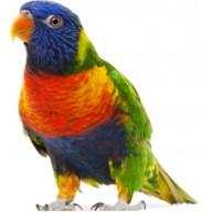 Naklejka Drukowana kolorowa papuga 04