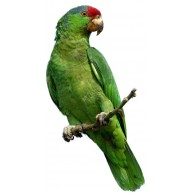 Naklejka Drukowana zielona papuga