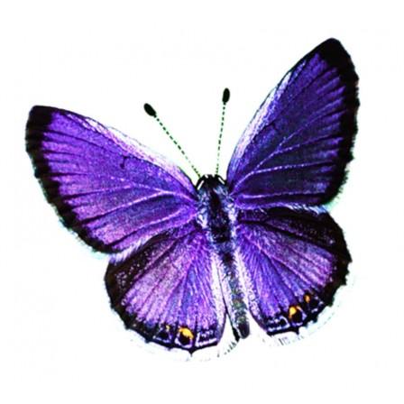 Naklejka Drukowana fioletowy motyl 01