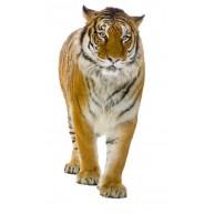 Naklejka Drukowana tygrys 01