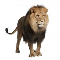 Naklejka Drukowana groźny lew