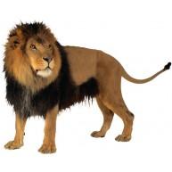 Naklejka Drukowana groźny lew 01