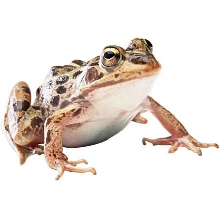 Naklejka Drukowana żaba