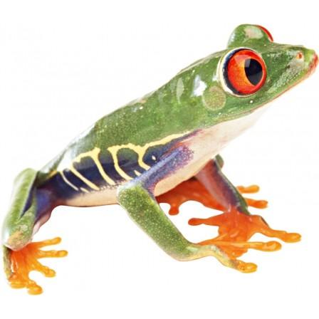 Naklejka Drukowana zielona żaba