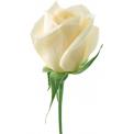 Naklejka Drukowana biała róża