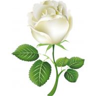 Naklejka Drukowana     biała róża 02