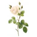 Naklejka Drukowana   biała róża 03