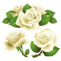 Naklejka Drukowana   biała róża 04