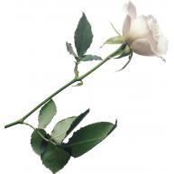 Naklejka Drukowana   biała róża 05