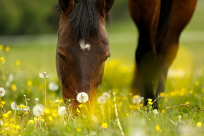 Koń łąka dmuchawce natura zwierzęta