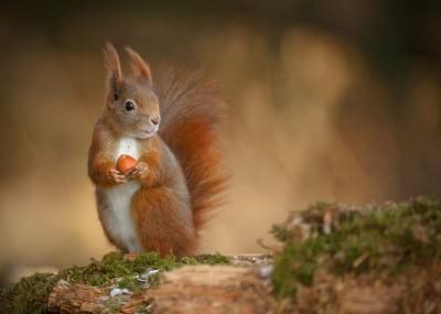 Wiewiórka z orzechem na drzewie natura zwierzęta