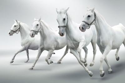 Cztery białe konie zwierzęta