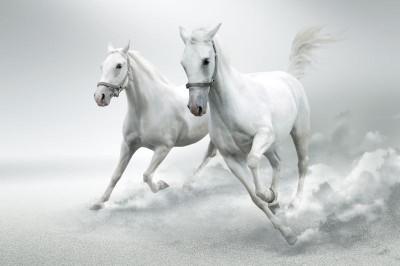 Dwa białe koni zwierzęta