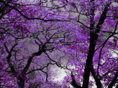 Fioletowe drzewa