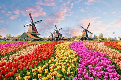 Polana kolorowych tulipanów z młynami w tle