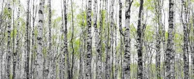 Las brzozowy, biała kora, liście, niebo