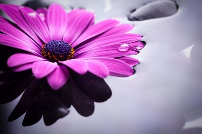 fioletowy kwiat, woda