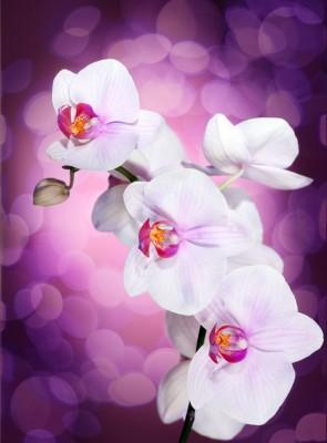 biały storczyk, fioletowe tło