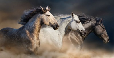 konie , galop 01