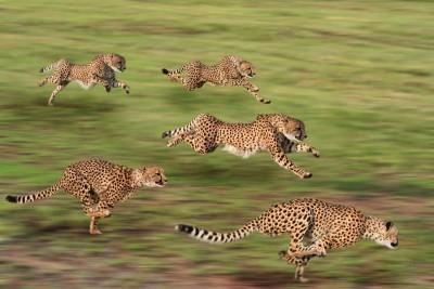 Biegnące gepardy