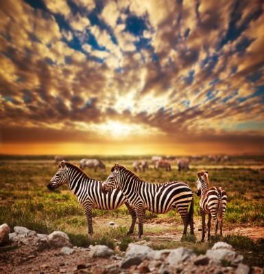Zebry na Sawannie Afrykański widok zwierzęta
