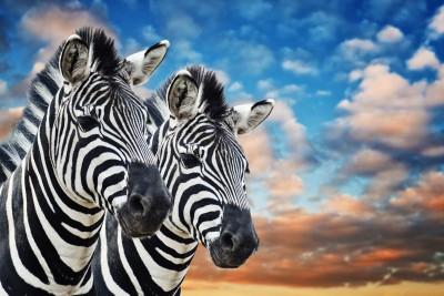 Dwie zebry na sawannie
