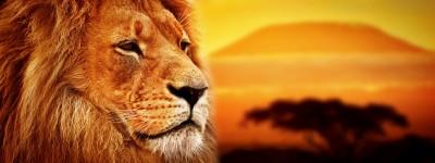 Lew z sawanną w tle