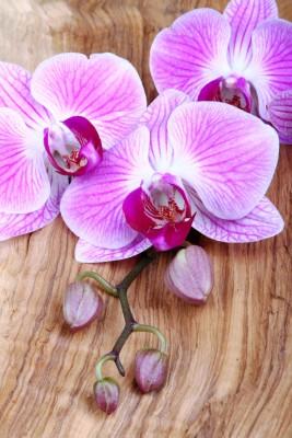 storczyki, fiolet