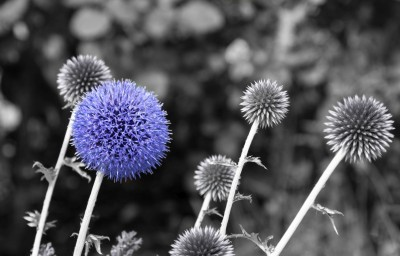 Fioletowy kwiatek na czarno białym tle