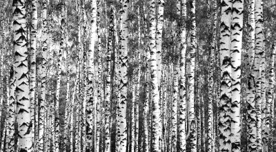 Pnie brzozy las drzewa