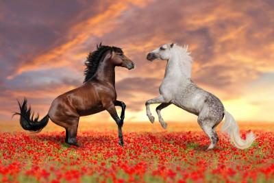 konie, biały, czarny
