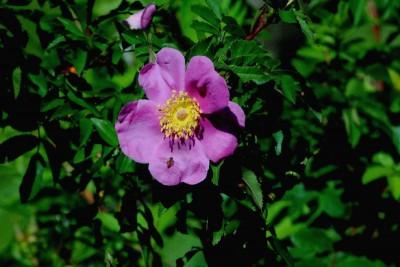 różowy  kwiatek, łąka