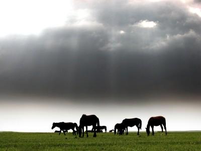 konie, łąka