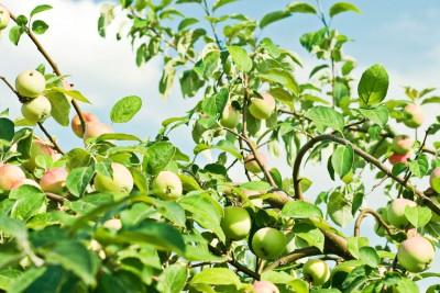jabłoń, owoce