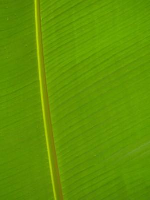 liść banana