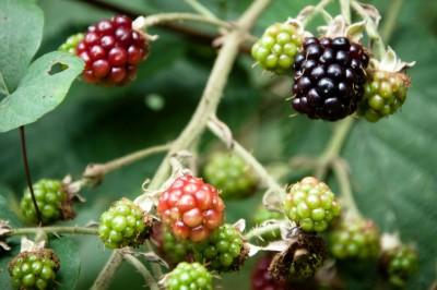 jeżyny, owoce leśne