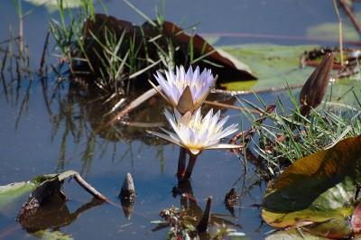 lilia wodna, staw