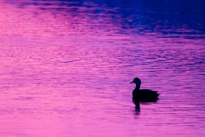 kaczka, kolorowa woda