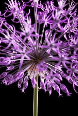 fioletowy kwiatek 01