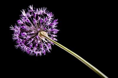fioletowy kwiatek 02