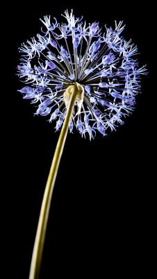 niebieski kwiatek 01