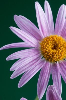 kwiatek , fiolet