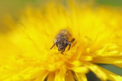 pszczoła, żółty kwiatek