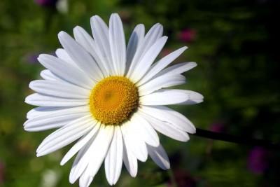 stokrotka, kwiatek